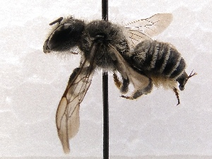 (Megachile SanDiego Sp.5 - KJH.417)  @13 [ ] Unspecified (default): All Rights Reserved  Unspecified Unspecified