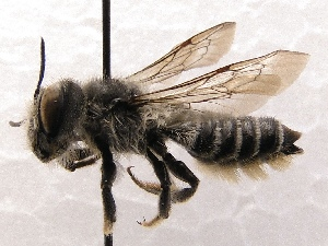 (Megachile SanDiego Sp.6 - KJH.885)  @14 [ ] Unspecified (default): All Rights Reserved  Unspecified Unspecified