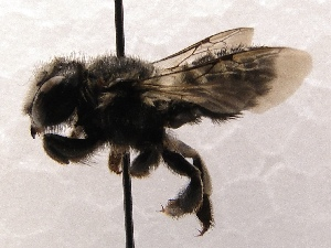(Megachile SanDiego Sp.8 - KJH.3204)  @13 [ ] Unspecified (default): All Rights Reserved  Unspecified Unspecified