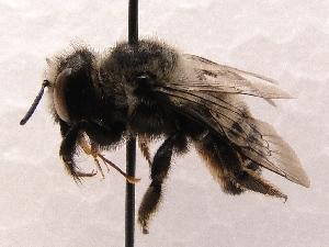 (Megachile SanDiego Sp.9 - KJH.628)  @13 [ ] Unspecified (default): All Rights Reserved  Unspecified Unspecified