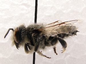 (Megachile SanDiego Sp.A - KJH.4323)  @14 [ ] Unspecified (default): All Rights Reserved  Unspecified Unspecified