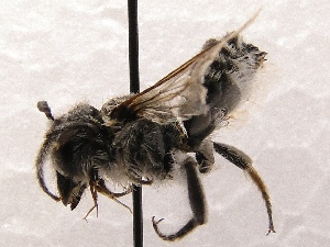 (Megachile SanDiego Sp.B - KJH.3805)  @12 [ ] Unspecified (default): All Rights Reserved  Unspecified Unspecified