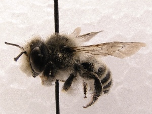 (Megachile SanDiego Sp.C - KJH.612)  @14 [ ] Unspecified (default): All Rights Reserved  Unspecified Unspecified