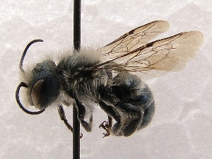 (Osmia cf. clarescens - KJH.990)  @11 [ ] Unspecified (default): All Rights Reserved  Unspecified Unspecified