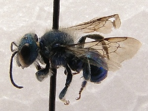 (Osmia cf. granulosa - KJH.1515)  @11 [ ] Unspecified (default): All Rights Reserved  Unspecified Unspecified