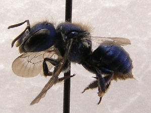 (Osmia granulosa - KJH.1310)  @14 [ ] Unspecified (default): All Rights Reserved  Unspecified Unspecified