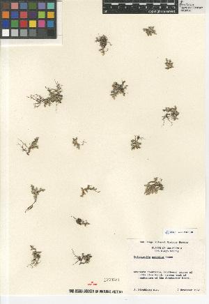 (Selaginella asprella - CCDB-23397-E01)  @11 [ ] CreativeCommons - Attribution Non-Commercial Share-Alike (2015) SDNHM San Diego Natural History Museum