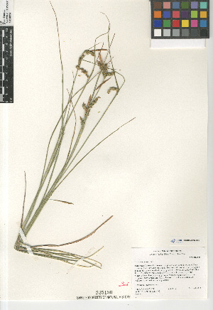 (Juncus phaeocephalus - CCDB-23397-E09)  @11 [ ] CreativeCommons - Attribution Non-Commercial Share-Alike (2015) SDNHM San Diego Natural History Museum