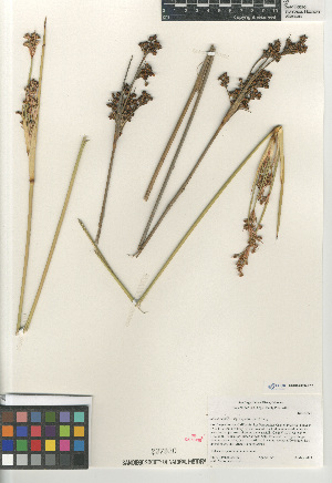 (Juncus acutus subsp. leopoldii - CCDB-23397-F12)  @11 [ ] CreativeCommons - Attribution Non-Commercial Share-Alike (2015) SDNHM San Diego Natural History Museum