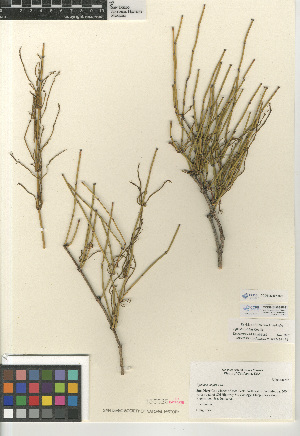(Ephedra viridis - CCDB-23397-H01)  @11 [ ] CreativeCommons - Attribution Non-Commercial Share-Alike (2015) SDNHM San Diego Natural History Museum