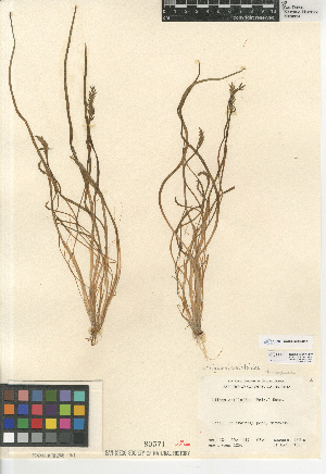 (Triglochin scilloides - CCDB-23397-H03)  @11 [ ] CreativeCommons - Attribution Non-Commercial Share-Alike (2015) SDNHM San Diego Natural History Museum