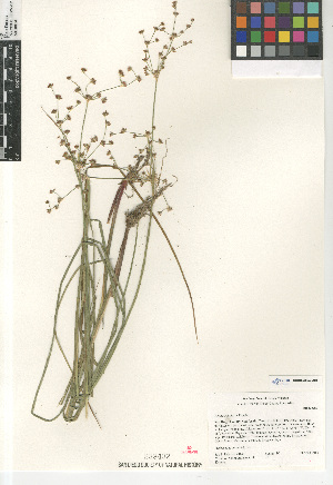(Juncus rugulosus - CCDB-23952-A01)  @11 [ ] CreativeCommons - Attribution Non-Commercial Share-Alike (2015) SDNHM San Diego Natural History Museum