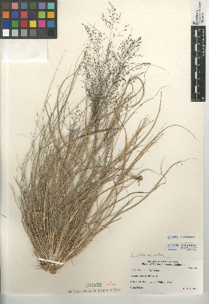 (Eragrostis - CCDB-23952-A07)  @11 [ ] CreativeCommons - Attribution Non-Commercial Share-Alike (2015) SDNHM San Diego Natural History Museum