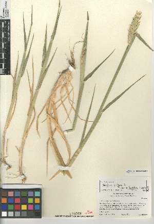 (Hordeum vulgare trifurcatum - CCDB-23952-D09)  @11 [ ] CreativeCommons - Attribution Non-Commercial Share-Alike (2015) SDNHM San Diego Natural History Museum