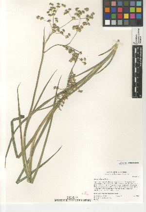 (Juncus xiphioides - CCDB-23952-E02)  @11 [ ] CreativeCommons - Attribution Non-Commercial Share-Alike (2015) SDNHM San Diego Natural History Museum