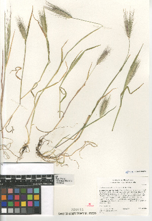 (Hordeum murinum subsp. leporinum - CCDB-23952-E09)  @11 [ ] CreativeCommons - Attribution Non-Commercial Share-Alike (2015) SDNHM San Diego Natural History Museum