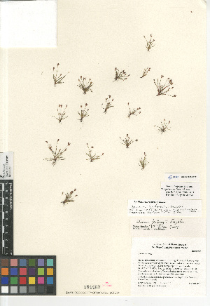 (Juncus triformis - CCDB-23952-F02)  @11 [ ] CreativeCommons - Attribution Non-Commercial Share-Alike (2015) SDNHM San Diego Natural History Museum