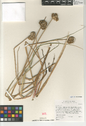 (Juncus torreyi - CCDB-23952-G02)  @11 [ ] CreativeCommons - Attribution Non-Commercial Share-Alike (2015) SDNHM San Diego Natural History Museum