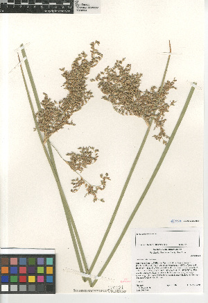 (Juncus textilis - CCDB-23952-H02)  @11 [ ] CreativeCommons - Attribution Non-Commercial Share-Alike (2015) SDNHM San Diego Natural History Museum