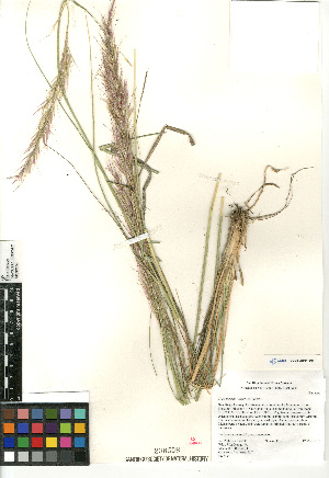(Stipa - CCDB-23964-E01)  @11 [ ] CreativeCommons - Attribution Non-Commercial Share-Alike (2015) SDNHM San Diego Natural History Museum