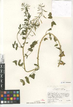 (Rorippa nasturtium-aquaticum - CCDB-24804-B09)  @11 [ ] CreativeCommons - Attribution Non-Commercial Share-Alike (2015) SDNHM San Diego Natural History Museum