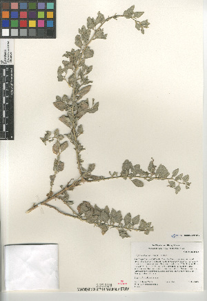 (Atriplex lentiformis - CCDB-24804-B12)  @11 [ ] CreativeCommons - Attribution Non-Commercial Share-Alike (2015) SDNHM San Diego Natural History Museum