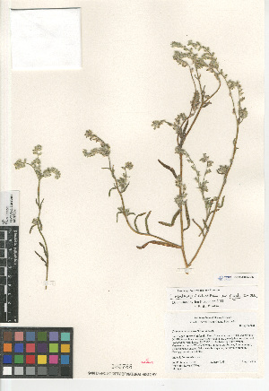 (Cryptantha nevadensis var. rigida - CCDB-24804-C03)  @11 [ ] CreativeCommons - Attribution Non-Commercial Share-Alike (2015) SDNHM San Diego Natural History Museum