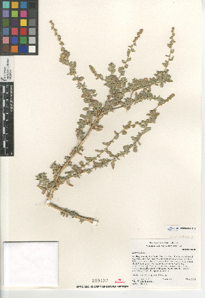 (Atriplex glauca - CCDB-24804-D12)  @11 [ ] CreativeCommons - Attribution Non-Commercial Share-Alike (2015) SDNHM San Diego Natural History Museum