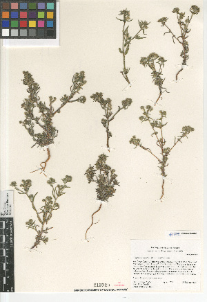 (Cryptantha maritima - CCDB-24804-G03)  @11 [ ] CreativeCommons - Attribution Non-Commercial Share-Alike (2015) SDNHM San Diego Natural History Museum