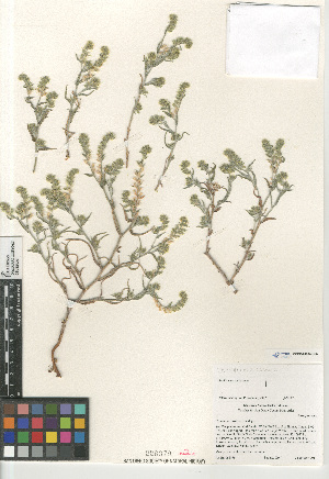 (Cryptantha costata - CCDB-24804-G05)  @11 [ ] CreativeCommons - Attribution Non-Commercial Share-Alike (2015) SDNHM San Diego Natural History Museum