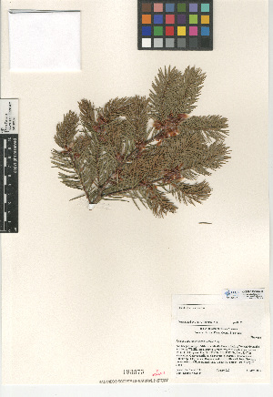 (Pseudotsuga macrocarpa - CCDB-24906-A08)  @11 [ ] CreativeCommons - Attribution Non-Commercial Share-Alike (2015) SDNHM San Diego Natural History Museum