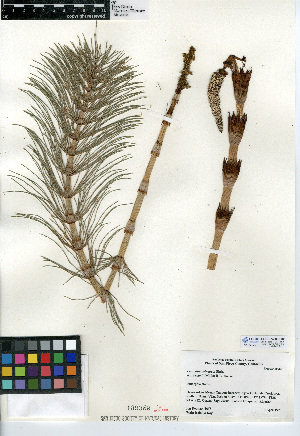 (Equisetum telmateia ssp braunii - CCDB-24906-E02)  @11 [ ] CreativeCommons - Attribution Non-Commercial Share-Alike (2015) SDNHM San Diego Natural History Museum