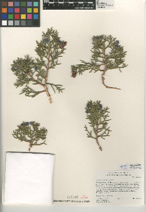 (Juniperus californica - CCDB-24906-E07)  @11 [ ] CreativeCommons - Attribution Non-Commercial Share-Alike (2015) SDNHM San Diego Natural History Museum