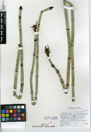 (Equisetum hyemale subsp affine - CCDB-24906-G02)  @11 [ ] CreativeCommons - Attribution Non-Commercial Share-Alike (2015) SDNHM San Diego Natural History Museum