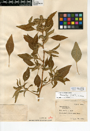 (Amaranthus powellii - CCDB-24907-B01)  @11 [ ] CreativeCommons - Attribution Non-Commercial Share-Alike (2015) SDNHM San Diego Natural History Museum
