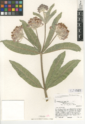 (Asclepias eriocarpa - CCDB-24907-B09)  @11 [ ] CreativeCommons - Attribution Non-Commercial Share-Alike (2015) SDNHM San Diego Natural History Museum