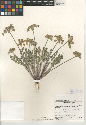 (Lomatium - CCDB-24907-F06)  @11 [ ] CreativeCommons - Attribution Non-Commercial Share-Alike (2015) SDNHM San Diego Natural History Museum