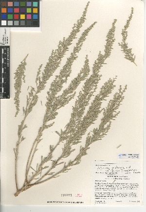 (Artemisia tridentata - CCDB-24908-A04)  @11 [ ] CreativeCommons - Attribution Non-Commercial Share-Alike (2015) SDNHM San Diego Natural History Museum