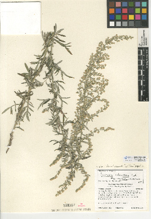 (Artemisia ludoviciana ssp. incompta - CCDB-24908-E04)  @11 [ ] CreativeCommons - Attribution Non-Commercial Share-Alike (2015) SDNHM San Diego Natural History Museum