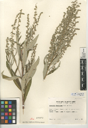 (Artemisia douglasiana - CCDB-24908-H04)  @11 [ ] CreativeCommons - Attribution Non-Commercial Share-Alike (2015) SDNHM San Diego Natural History Museum