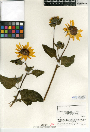 (Helianthus annuus - CCDB-24909-G11)  @11 [ ] CreativeCommons - Attribution Non-Commercial Share-Alike (2015) SDNHM San Diego Natural History Museum