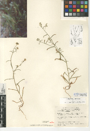 (Cryptantha decipiens - CCDB-24935-B11)  @11 [ ] CreativeCommons - Attribution Non-Commercial Share-Alike (2015) SDNHM San Diego Natural History Museum