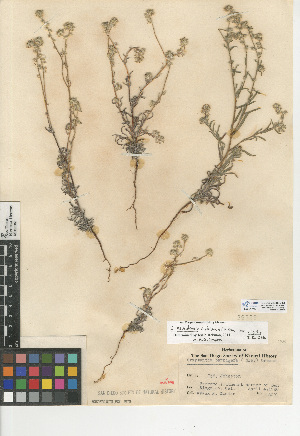 (Cryptantha nevadensis - CCDB-24935-C12)  @11 [ ] CreativeCommons - Attribution Non-Commercial Share-Alike (2015) SDNHM San Diego Natural History Museum