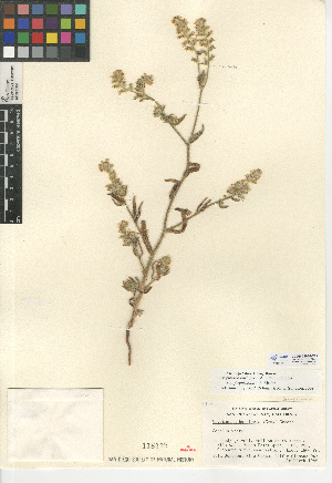 (Cryptantha barbigera - CCDB-24935-E11)  @11 [ ] CreativeCommons - Attribution Non-Commercial Share-Alike (2015) SDNHM San Diego Natural History Museum