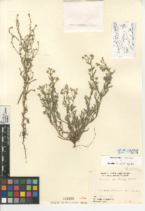 (Cryptantha microstachys - CCDB-24935-E12)  @11 [ ] CreativeCommons - Attribution Non-Commercial Share-Alike (2015) SDNHM San Diego Natural History Museum