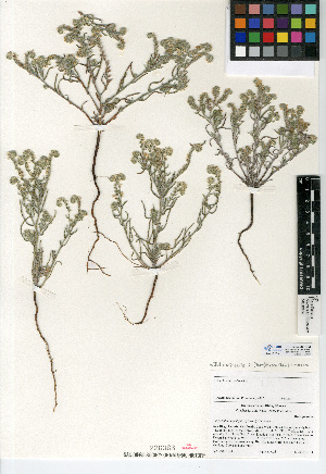 (Cryptantha angustifolia - CCDB-24936-B03)  @11 [ ] CreativeCommons - Attribution Non-Commercial Share-Alike (2015) SDNHM San Diego Natural History Museum
