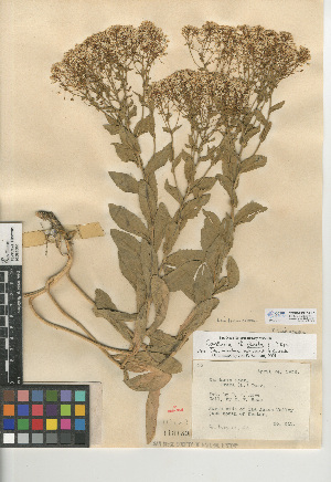 (Lepidium - CCDB-24937-E07)  @11 [ ] CreativeCommons - Attribution Non-Commercial Share-Alike (2015) SDNHM San Diego Natural History Museum