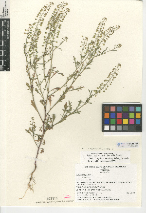 (Lepidium - CCDB-24937-G09)  @11 [ ] CreativeCommons - Attribution Non-Commercial Share-Alike (2015) SDNHM San Diego Natural History Museum