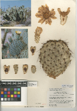 (Opuntia chlorotica - CCDB-24938-A03)  @11 [ ] CreativeCommons - Attribution Non-Commercial Share-Alike (2015) SDNHM San Diego Natural History Museum