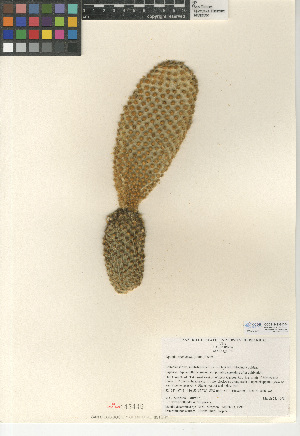 (Opuntia microdasys - CCDB-24938-D04)  @11 [ ] CreativeCommons - Attribution Non-Commercial Share-Alike (2015) SDNHM San Diego Natural History Museum